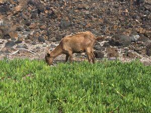 wild goat Hawaii