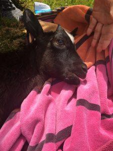 wild goat Hawaii