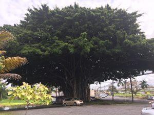 The Massive Banyan Tree