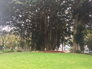 Banyan Trees on Banyan Drive Hilo Hawaii