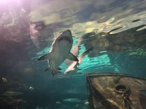 Gatlinburg Ripley's Aquarium of the Smokies shark lagoon