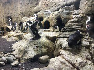 Gatlinburg Ripleys Aquarium of the Smokies penguins