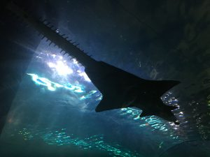 Gatlinburg Ripleys Aquarium of the Smokies sawfish